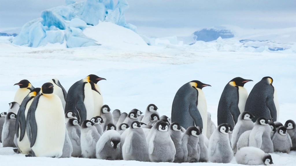 DIE REISE DER PINGUINE 2 ©WILD BUNCH